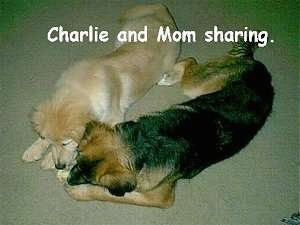 A tan dog is laying next toa black and brown dog. They are sharing a toy. The Words - Charlie and Mom sharing. - is overlayed