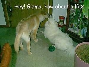 A tan dog is standing next to a white dog that is laying down in front of a door. The Words - Hey! Gizmo, how about a kiss - is overlayed