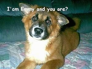 Close Up - a brown dog is laying on a couch. The Words - I'am Emmy and you are? - is overlayed
