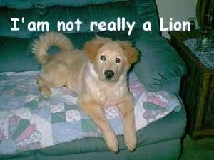 A tan dog is laying on a couch. The Words - I'am not really a Lion - is overlayed