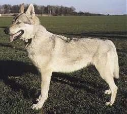 Left Profile - A Czechoslovakian Wolfdog is standing in a large lawn and its mouth is open and tongue is out