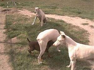 Three White Doberman Pinschers are playing in a yard and there is a smaller dog running under one of there legs