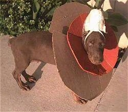 A Doberman Pinscher Puppy has its ear taped up. It is wearing two cones, one is brown cardboard and the other is orange.