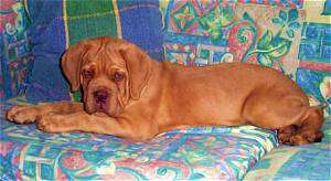 Ali the Dogue de Bordeaux Puppy is laying on a very colorful couch with a colorful pillow behind it