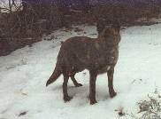Kinde the Dutch Shepherd is standing outside in snow with trees behind it