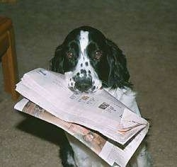 Dash the Black and White English Springer Spaniel is sitting in a room with a newspaper in his mouth