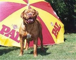 Chevelle the Dogue de Bordeaux is standing in front of a yellow and red umbrella with the word - PAL - on it. His mouth is open with his tongue out and he looks hot.