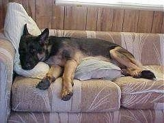 A black and tan German Shepherd is laying on a tan couch on top of a pillow