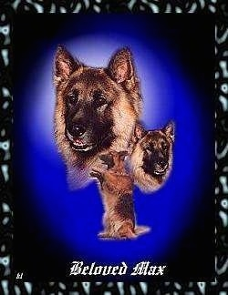 A composited image of a black and tan German Shepherd named Max. There is an image of it sitting on its hind legs with its front legs out. There are two pictures of its head facing different directions