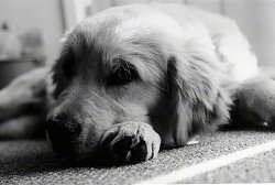 Close Up - A black and white photo of a Golden Retriever Puppy laying down