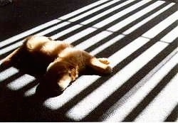 A Golden Retriever puppy is laying on carpet in sunrays that are partially blocked by blinds