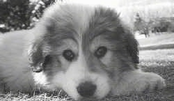 Close up had shot - A black and white photo of a Great Pyrenees puppy laying down in grass.