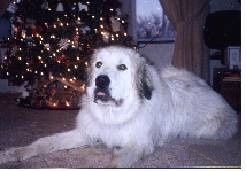 A Great Pyrenees is laying on a tan carpet in front of a Christmas tree