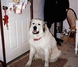 A Great Pyrenees is sitting on a rug in front of a door that has Christmas cards hanging across the front of it.