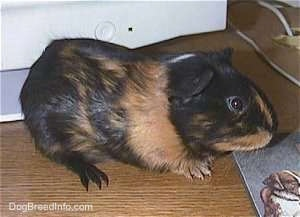 Right Profile - A black with tan Guinea Pig is standing on a wooden desk next to a mouse pad and a monitor looking to the right.