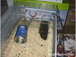A top down image of a black with tan Guinea Pig laying in the back right corner of its cage.