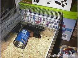 A top down image of a black with tan Guinea Pig that is laying against the back of its cage. There is an empty coffee can in front of it.