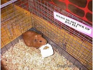 A brown Guinea Pig is standing in the corner of a cage and there is a miniature bag of fedd in front of it. There is a sign that reads - Please Do Not Pick Up Just Pet. The sign is attached to the back of the cage.