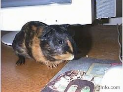 A black with tan Guinea Pig is standing on a wooden table and behind it is a CRT monitor. It is looking down at a mouse pad with dogs playing poker on it in front of it.