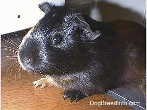 Close up - A black with tan Guinea Pig is laying on top of a mouse pad looking forward.