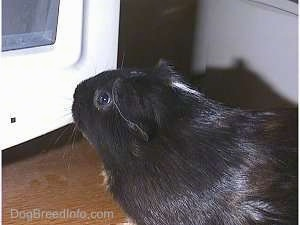 A black with tan guinea pig is sniffing a computer monitor that is in front of it.