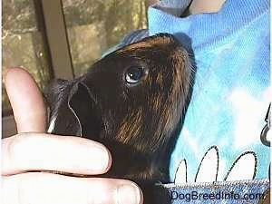 Close up - A black with tan guinea pig is being held in the arms of a person. It is looking up at the person holding it.