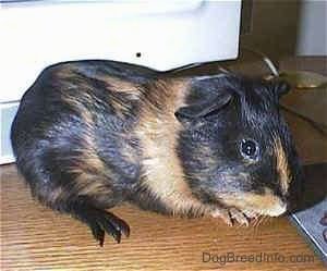 Right Profile - A black with tan Guinea Pig is standing on a wooden table and it is looking forward.