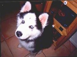 Close up - A fluffy black and white with grey Siberian Husky puppy is sitting on a tiled floor, it is looking up and to the left.