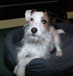 Front side view - A white with tan and black wire-haired Parson Russell Terrier is laying on a blue dog bed looking up and to the left. The dog has a beard.