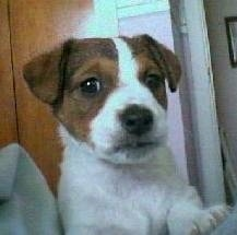 Close up head shot - A white with brown and black Parson Russell Terrier puppy laying down on a bed.
