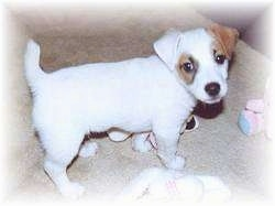 Top down view of a white with tan Parson Russell Terrier puppy that is standing on a tan carpeted floor looking up. There is a pink with blue toy in front of it.