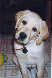 A yellow Labrador Retriever is sitting on a white tiled floor with its head tilted to the right. There is a toy next to it.