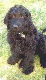 Close Up - The front left side of a black Australian Labradoodle puppy is sitting in a lawn and it is looking forward.