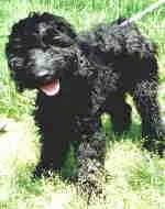 The front left side of a black Australian Labradoodle that is standing in a lawn. Its head is slightly tilted to the left, its mouth open and its tongue is hanging out.