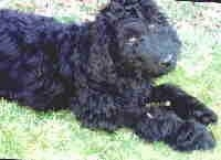 Close up - The front right side of a black Australian Labradoodle that is laying down in a field and its head is slightly tilted to the left.