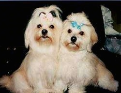Two tan Lhasa Apsos are sitting next to each other very close side by side. They both are wearing ribbons in their top knots. One is pink and the other is a teal-blue ribbon.