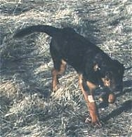 A black with tan mix breed puppy is walking down grass.