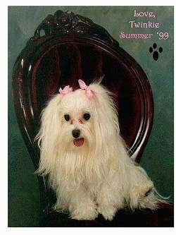 A long-coated white Maltese is sitting in a fancy wooden chair in front of a green wall and looking to the left. Its mouth is open and tongue is out and there are pink ribbons at the top of each ear.