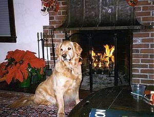 Asti the Golden Retriever sitting in front of a fireplace