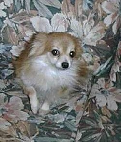 Flosie the Pomeranian sitting on a couch