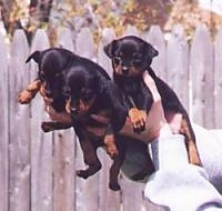 Three Miniature Pinscher puppies are being held in the air by a persons hand. There is a wooden fence behind them.