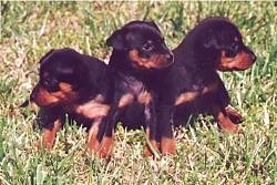 Three black and tan Miniature Pinscher Puppies are sitting in grass in a row each looking in there own individual direction.