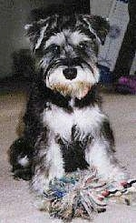 Front view - A black with tan Miniature Schnauzer is sitting on a carpet and there is a rope toy in front of it.