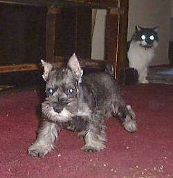A grey Miniature Schnauzer puppy is walking across a red carpet. There is a black and white cat stalking behind it.