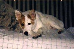 A perk-eared, white with tan Australian Cattle Dog/Border Collie mix is laying down on a human's bed looking forward.
