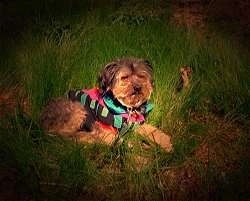 A medium-haired, wiry looking, black with brown mixed breed dog is wearing a colorful pink, blue, green and black bandana and it is laying in grass. The dog looks like Benji from the classic movies.