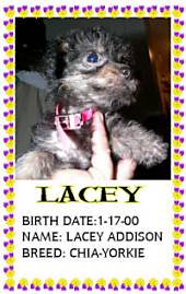 Lacy the Chorkie is being held against a person. Overlayed is a white box that takes up half of the photo. Over top of the white block are words. The Words are - Lacey Birth Date: 1/17/00 Name: Lacey Addison Breed: Chia-Yorkie