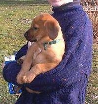 A brown Mastiff/Golden Retriever mix puppy is being held up in a persons arm. The person is wearing a purple sweater and holding a box of Oreos.