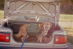 A tan with white Shepherd mix is standing in the open trunk of a vehicle. The dog is wearing a green backpack and a blue leash. Its mouth is open and its tongue is out.