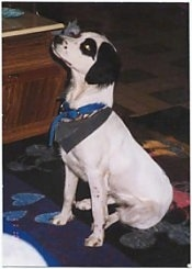 Side view - A white with black Brittany Spaniel/Australian Shepherd mix is sitting on a rug and it is looking up. It is wearing an army green bandana and a blue collar.
